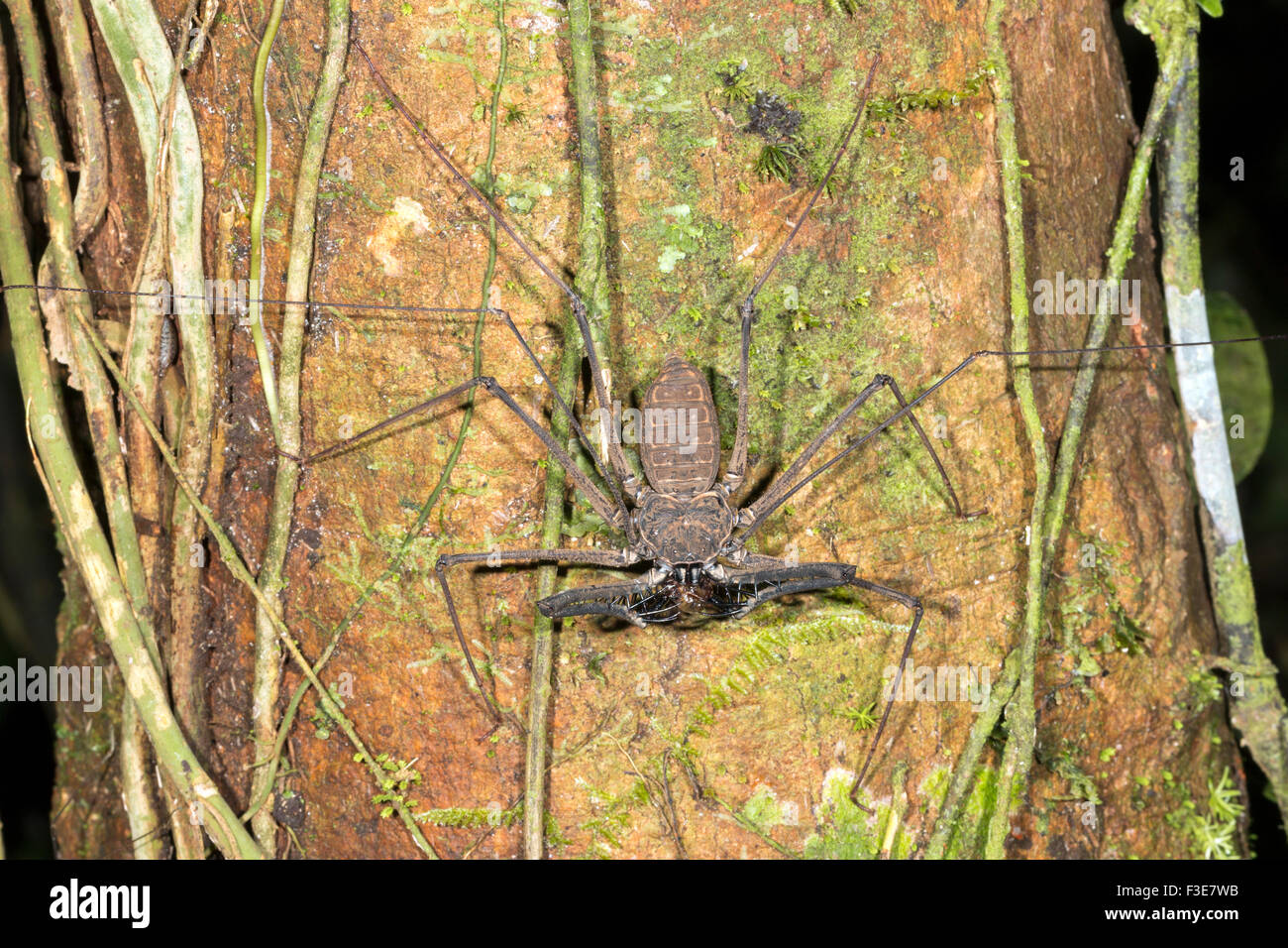Tailless whipscorpion (Amblypygid) eating a prey item on a rainforest tree trunk in Ecuador - Stock Image