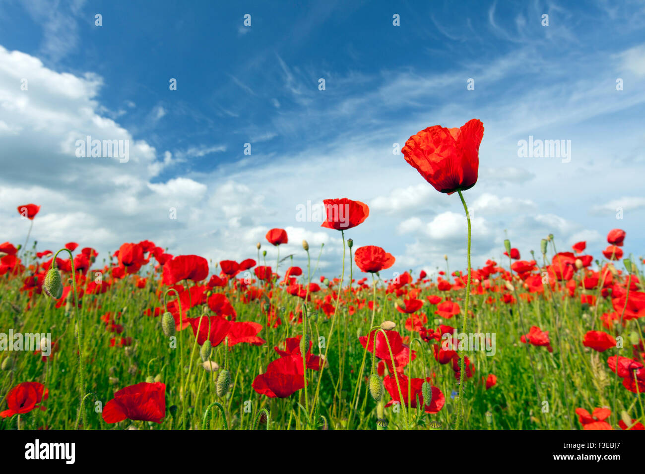 Common poppies / red poppy (Papaver rhoeas) flowering in field in summer - Stock Image