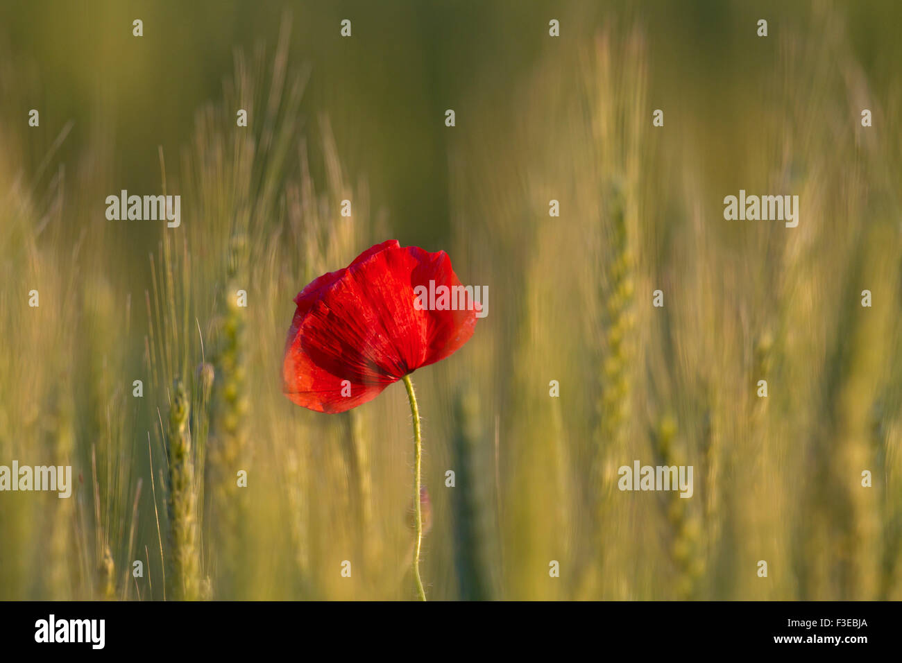Common poppy / red poppy (Papaver rhoeas) flowering in wheat field - Stock Image