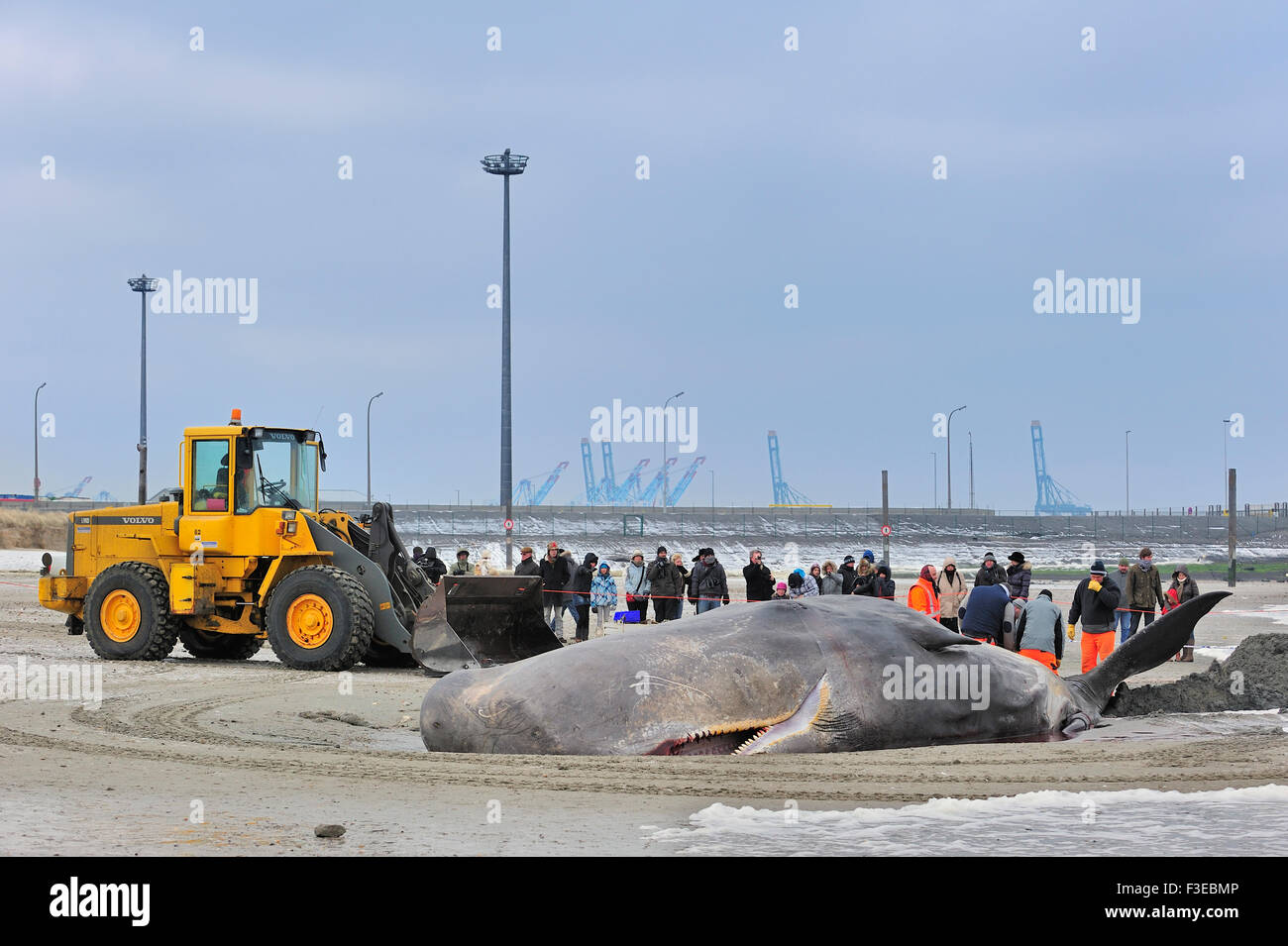 Stranded sperm whale (Physeter macrocephalus) on beach at Knokke, Belgium - Stock Image