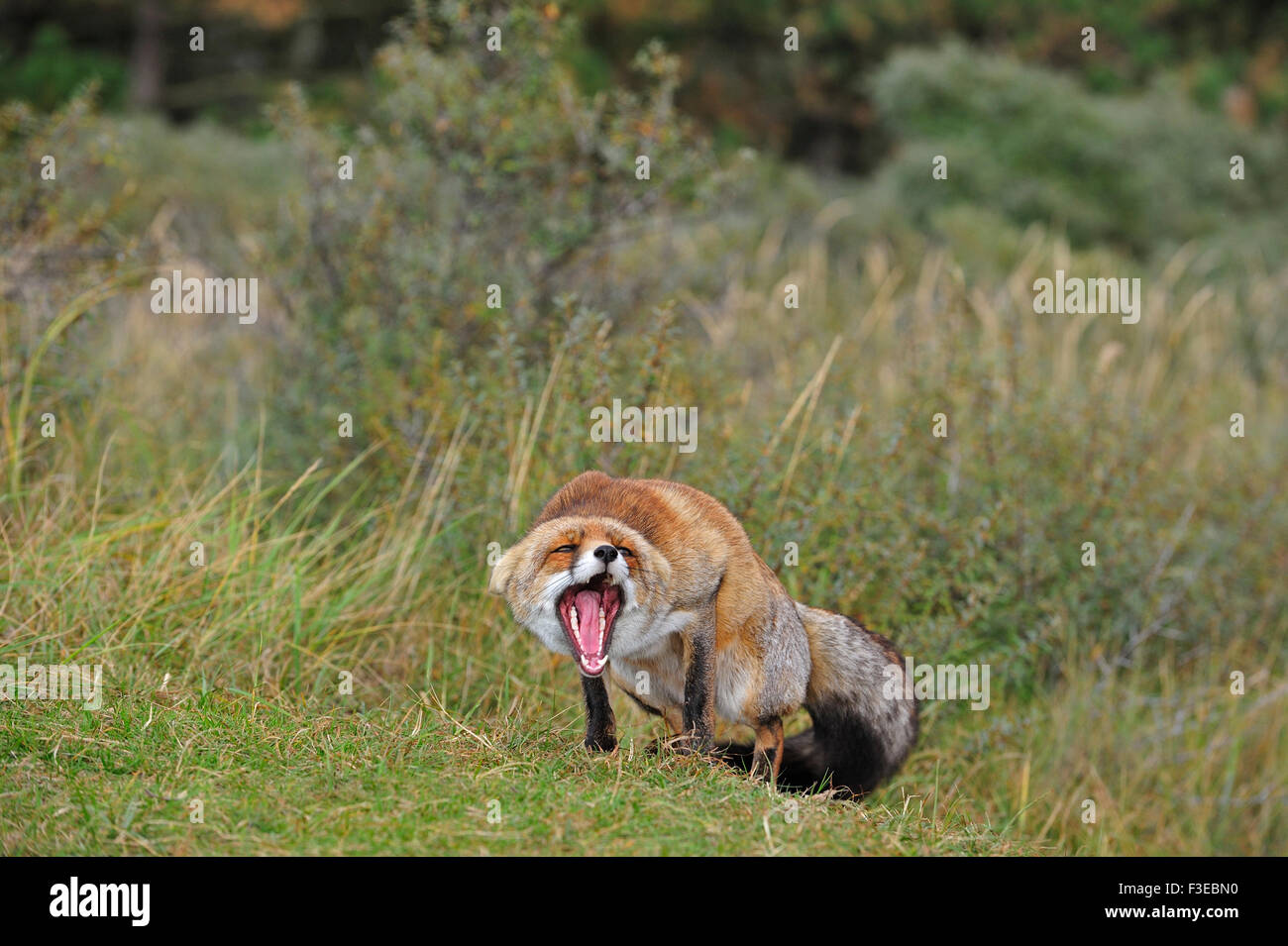 Aggressive Red fox (Vulpes vulpes) in defensive posture showing teeth and keeping ears flat - Stock Image