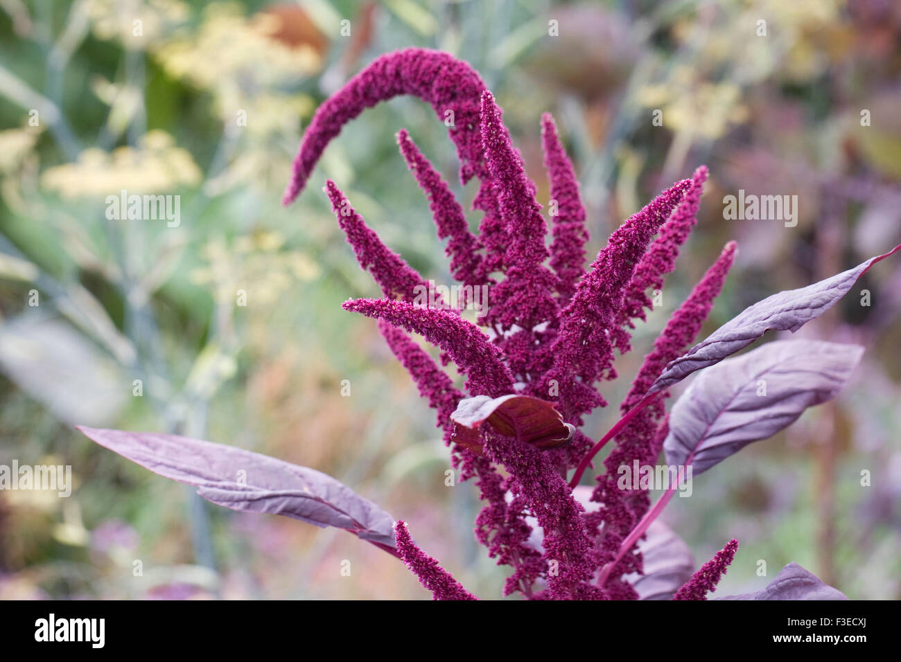 Amaranthus tricolor 'Red Army' flowers. - Stock Image