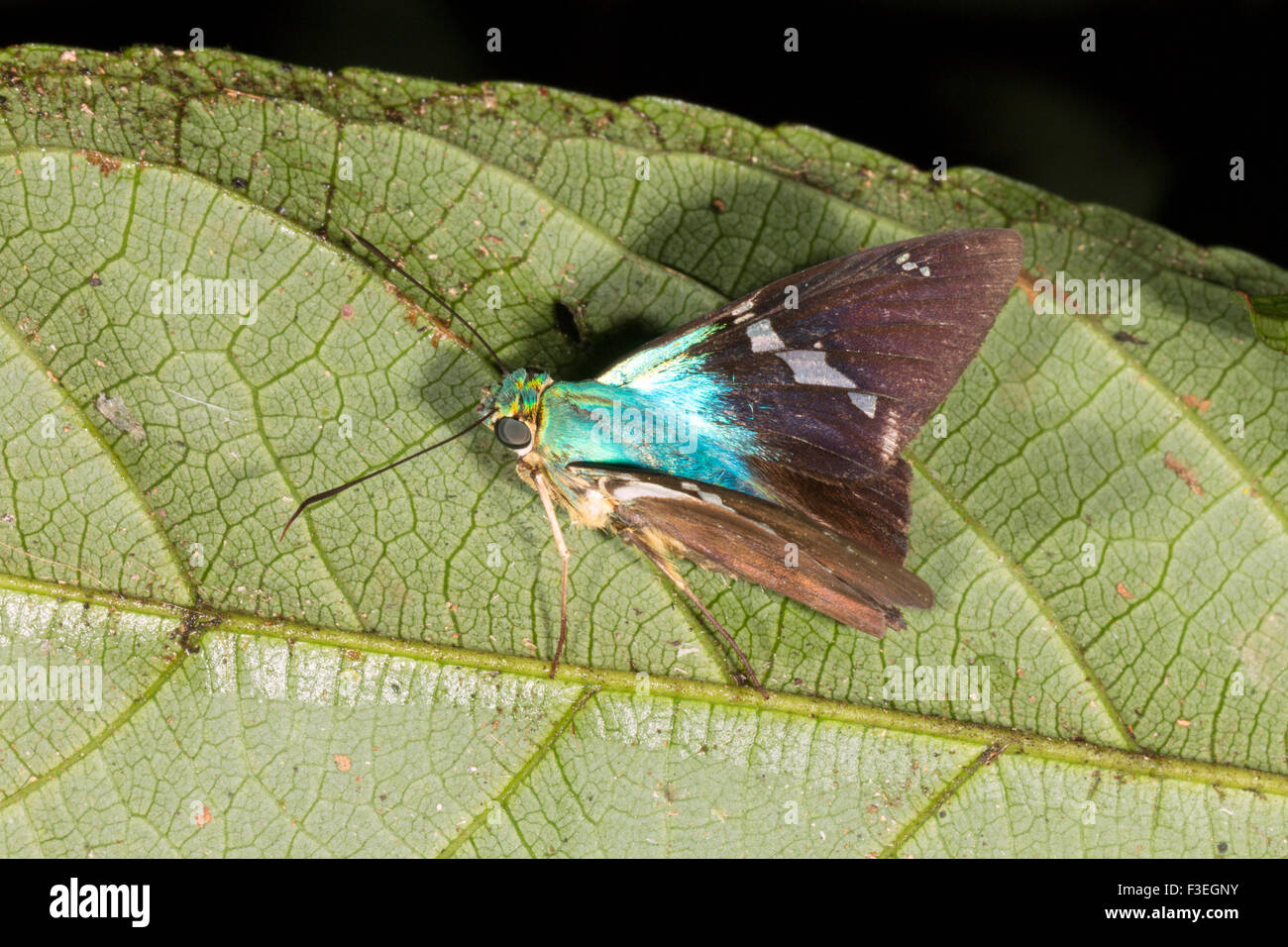 Skipper butterfly (Family Hesperidae) on a leaf in the rainforest, Ecuador Stock Photo