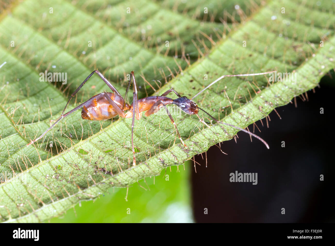 Large ant on a leaf in the rainforest, Ecuador Stock Photo