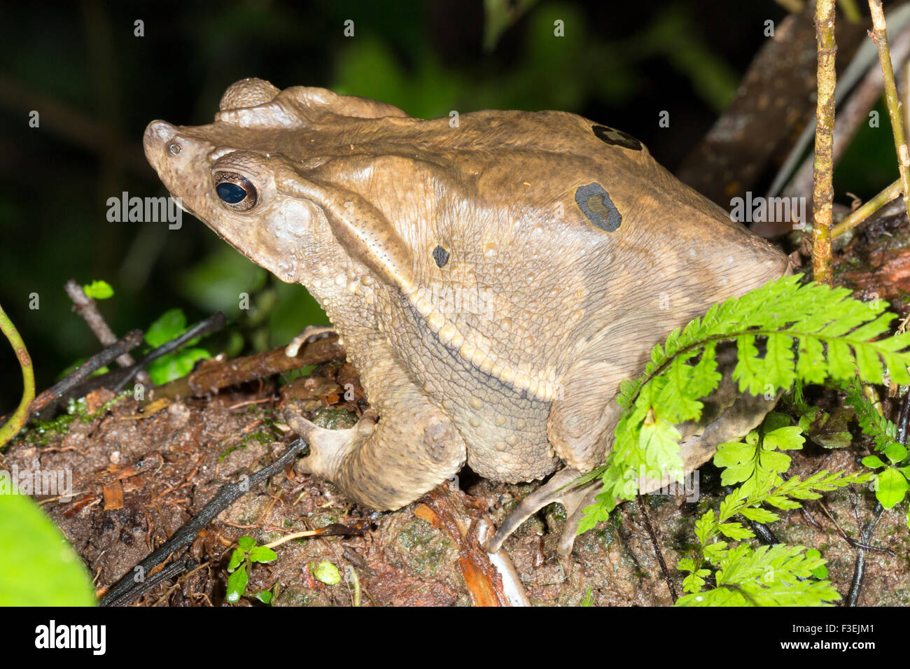 Crested Forest Toad (Rhinella dapsilis) roosting at night on a branch in the rainforest, Ecuador - Stock Image
