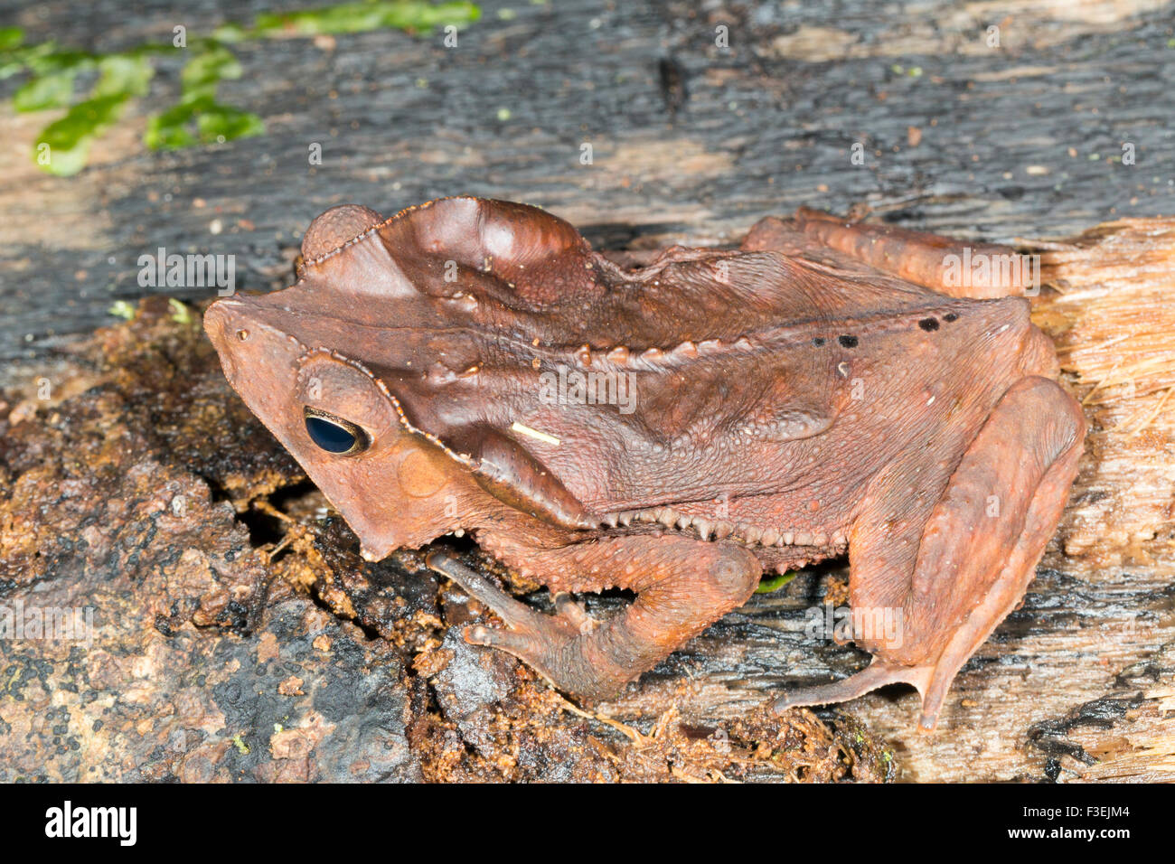 Crested Forest Toad (Rhinella dapsilis) on the rainforest floor in Ecuador - Stock Image