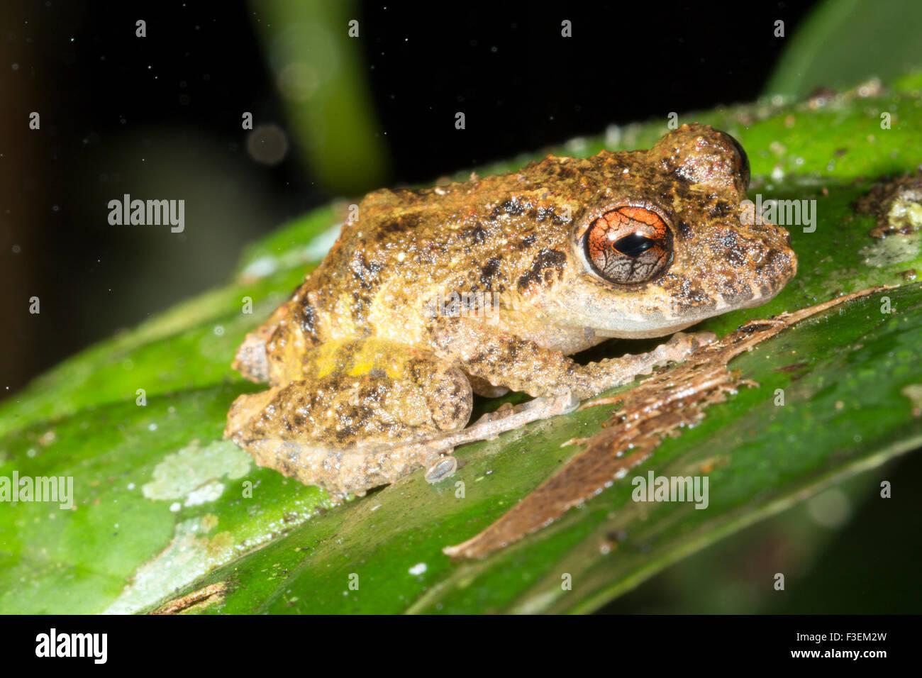 Warty Diadem Rain Frog (Pristimantis diadematus) in rainforest, Ecuador - Stock Image
