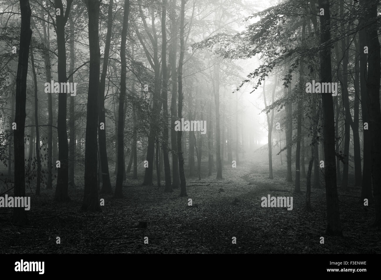 Beech trees in early autumn in Dockey Wood, Hertfordshire, England UK. - Stock Image