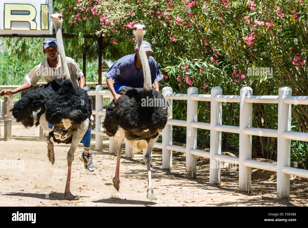 Two African men have fun racing Ostrich at an Ostrich Farm near Mosselbay, South Africa   Straussenrennen in Suedafrika - Stock Image