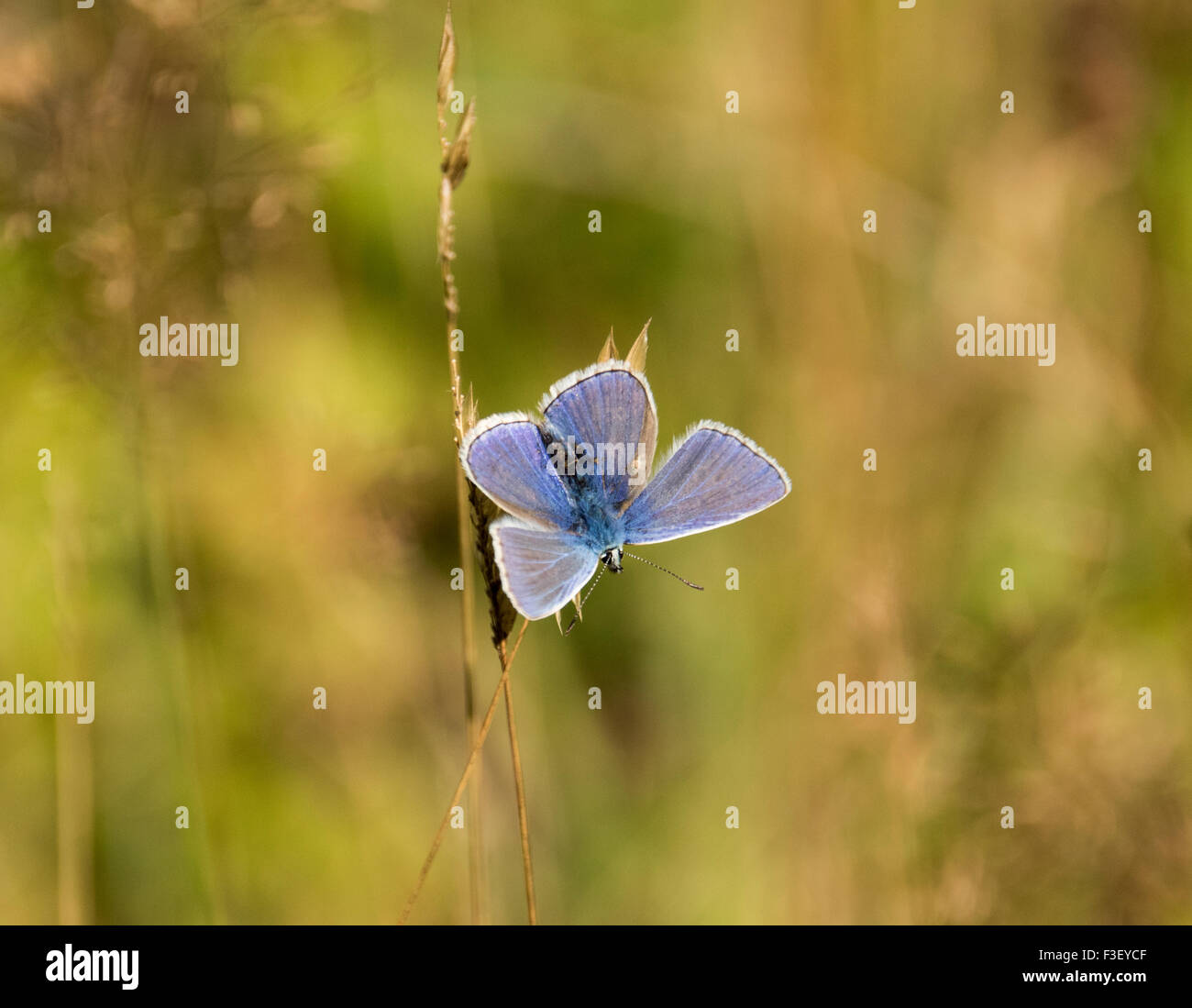Common Blue butterlfy - Stock Image