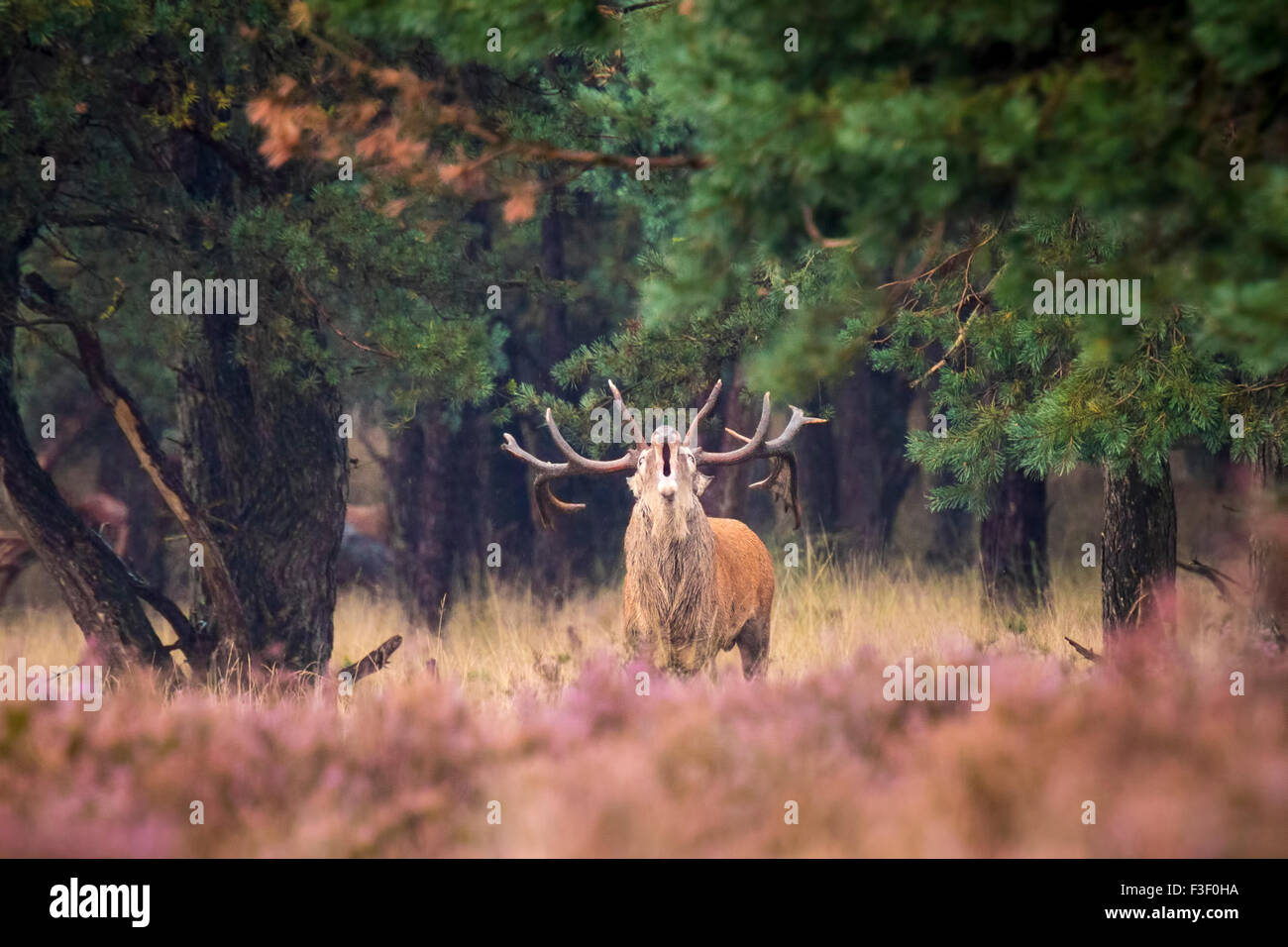 Red deer male, cervus elaphus, rutting during mating season on a field near a forest in purple heather blooming. - Stock Image