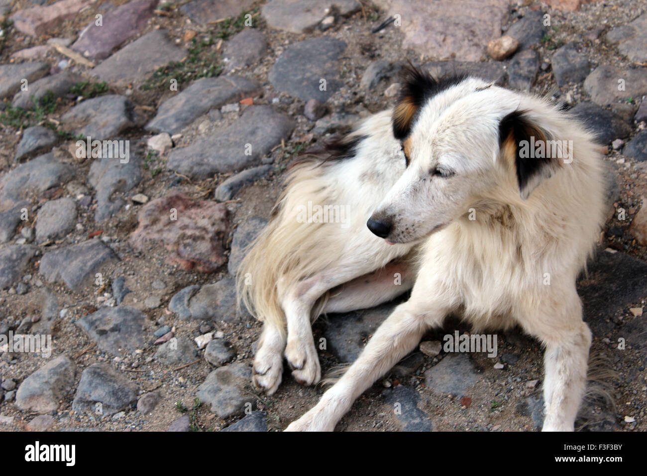 White hair stray dog outside in Istanbul - Stock Image