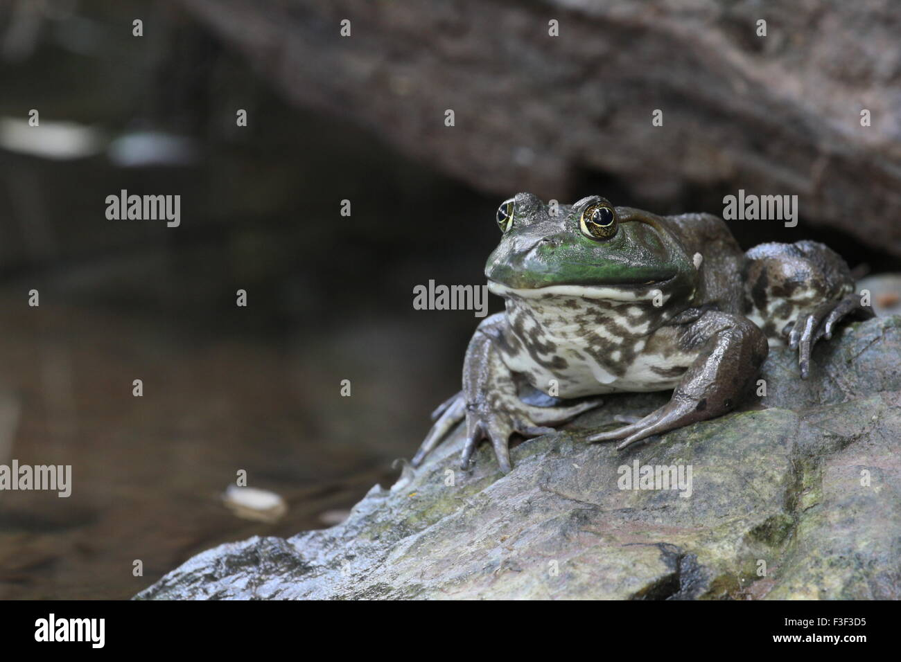 Frog sitting on a wet rock looking at the camera. - Stock Image