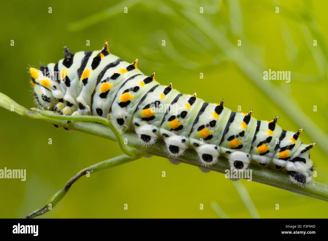 Swallowtail Catrepillar, 6 days after hatching and about 20mm in length. - Stock Image