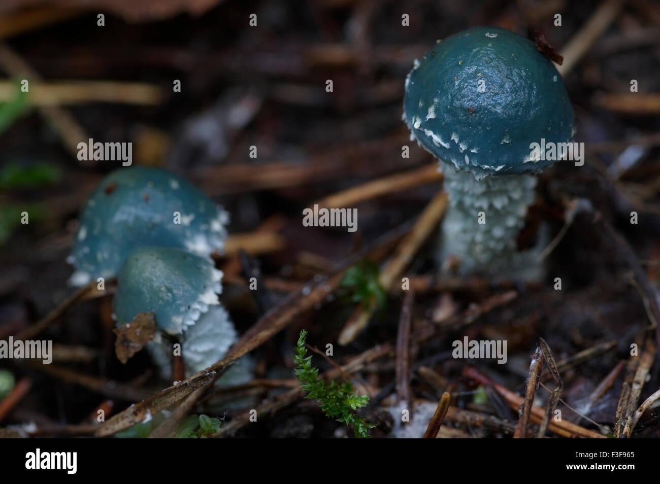 Stropharia caerulea blue-green fungi, Estonia, 06th October, 2015 - Stock Image