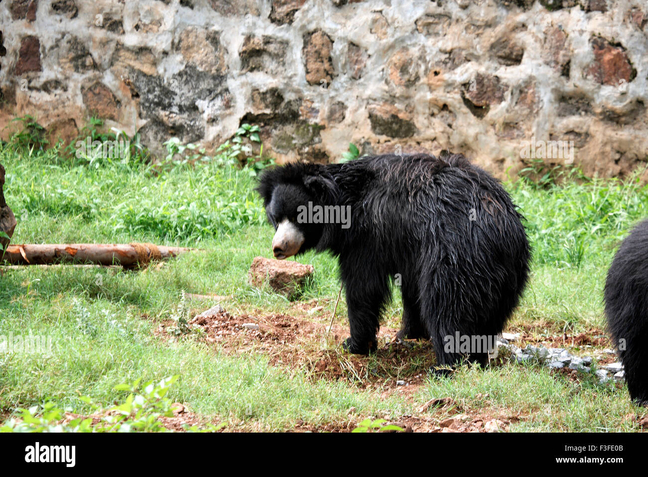 Asiatic black bear - Stock Image