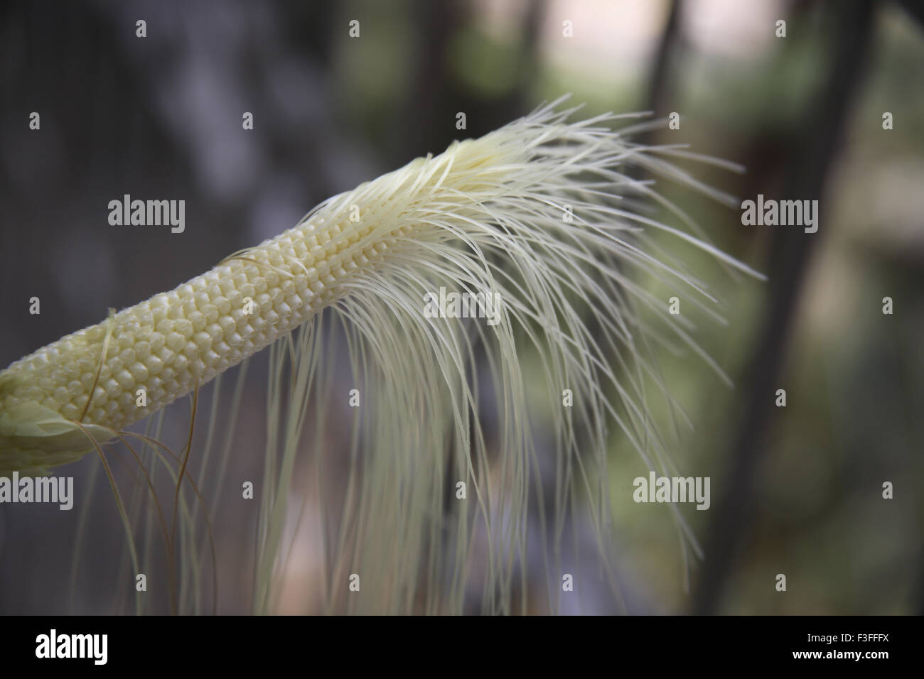 Crop ; Baby Corn ; Maize ; Zea mays ; Used in Salads or vegetables ; India - Stock Image