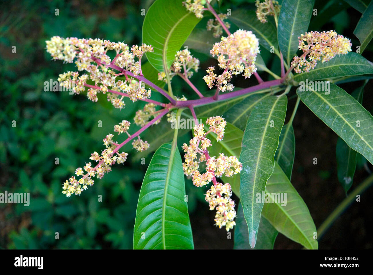 Mango tree ; Latin name Mangifera indica - Stock Image