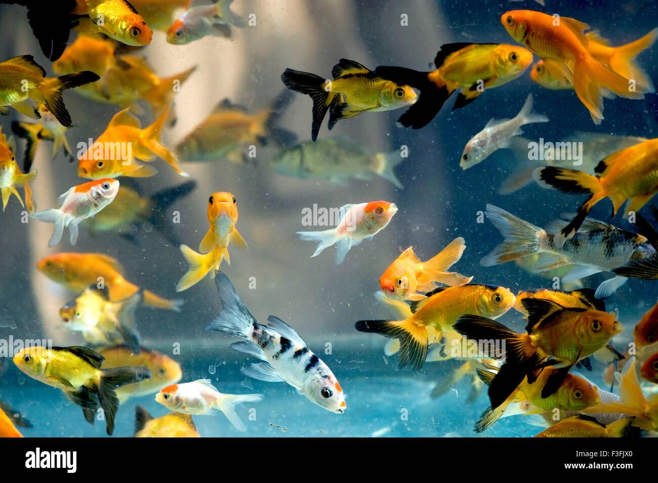 aquarium fish species red wig high fin platy india stock photo