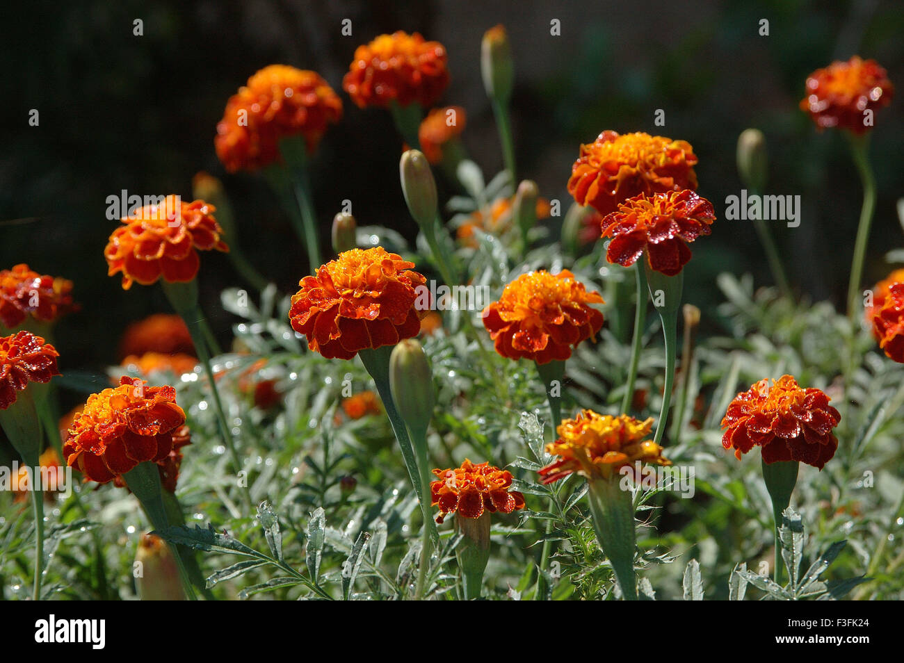 Marigold in field Latin Name Tagetes spp - Stock Image