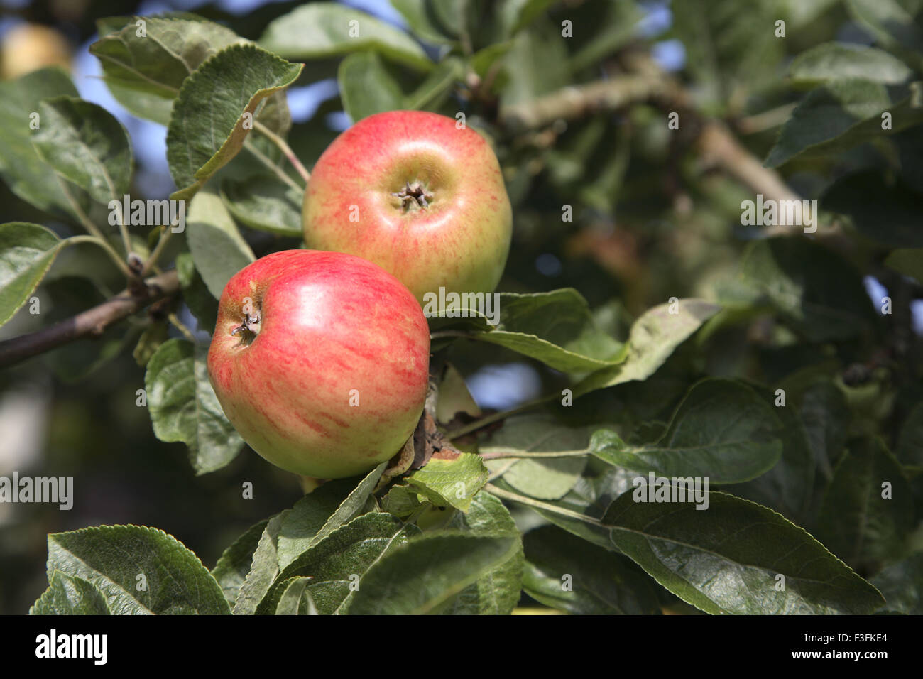 Fruits ; two red apples with green leaves - Stock Image