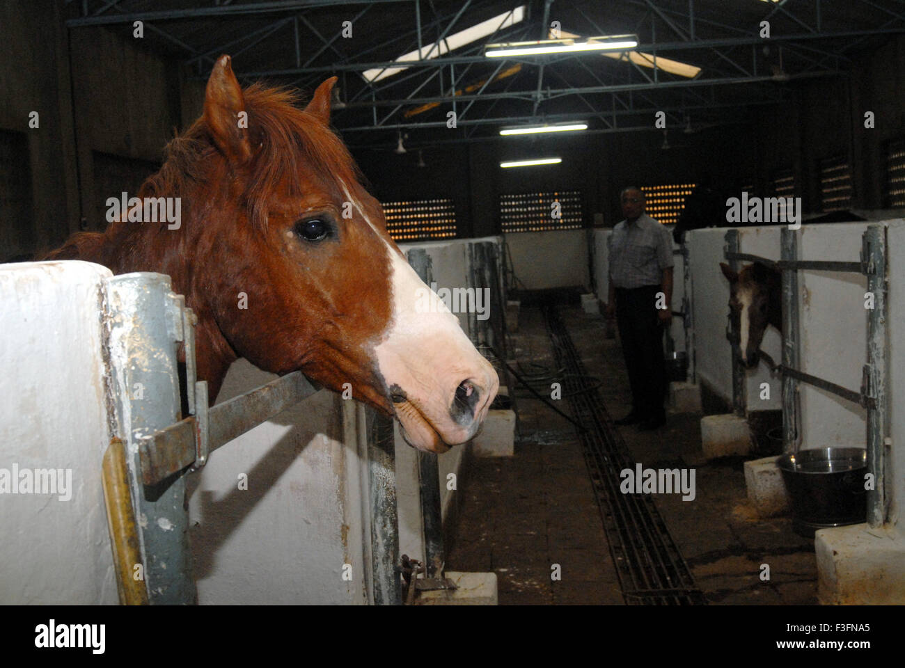 A stray abandoned horse being treated at the Parel animal hospital ; Bombay now Mumbai ; Maharashtra ; India - Stock Image