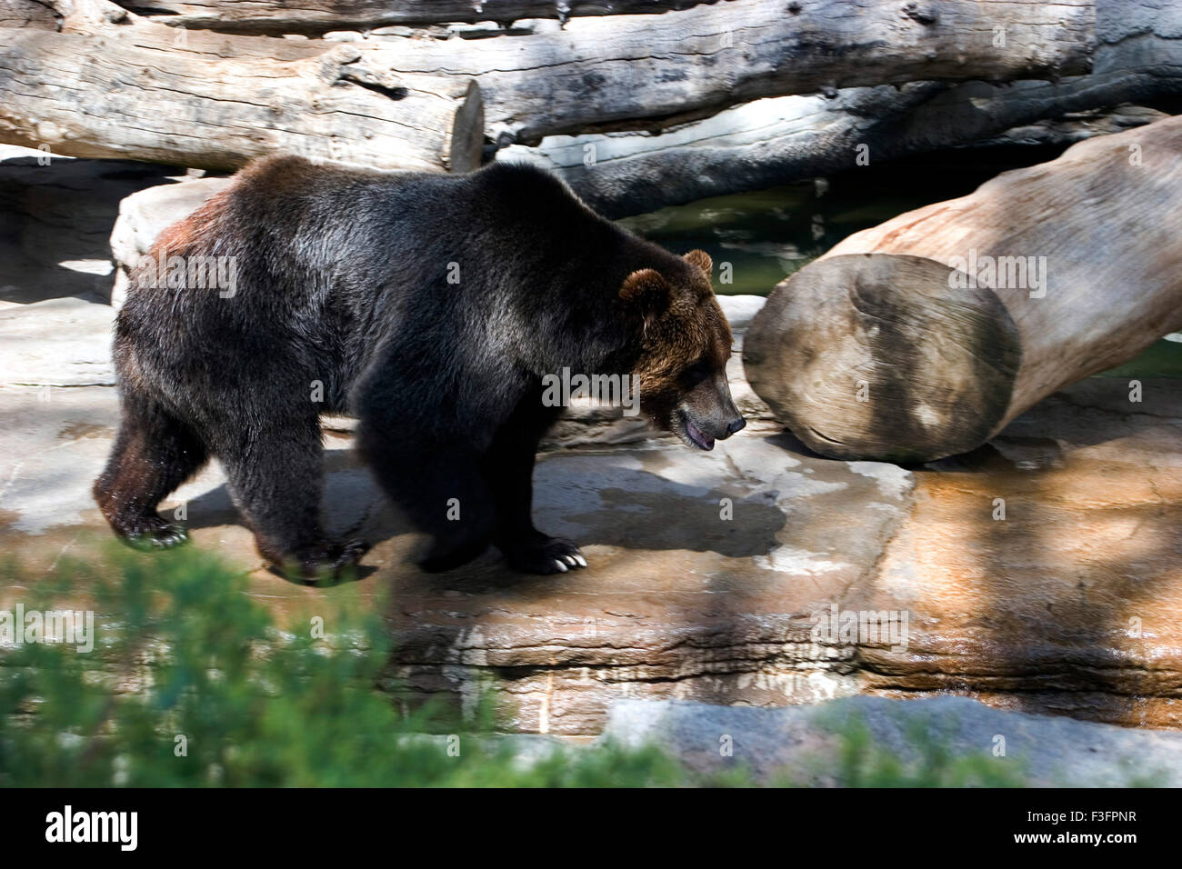Asiatic Black bear ursus thibetanus ; Denver Zoo ; U.S.A. United States of America - Stock Image