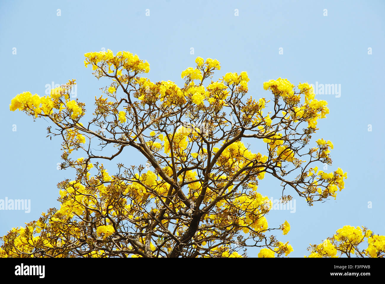 Yellow Flowers Blooming In Spring Season India Stock Photo
