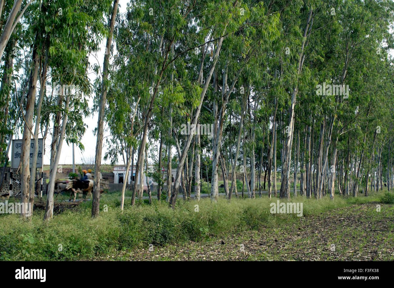 Eucalyptus Tree Plantation At Ralegan Siddhi Near Pune Maharashtra