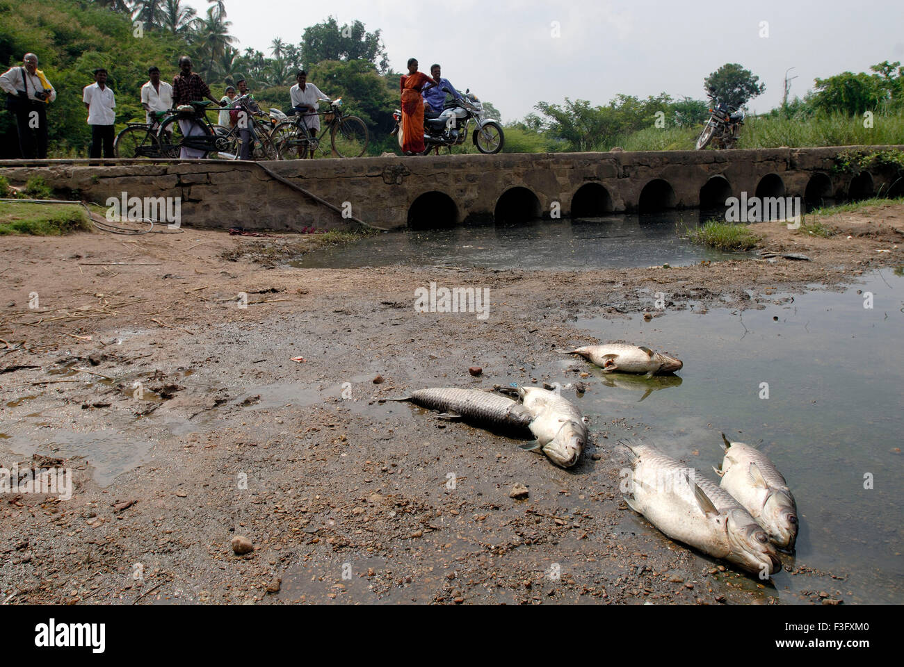 Dead fish on bank of river Noyyal ; Coimbatore ; Tamil Nadu ; India - Stock Image