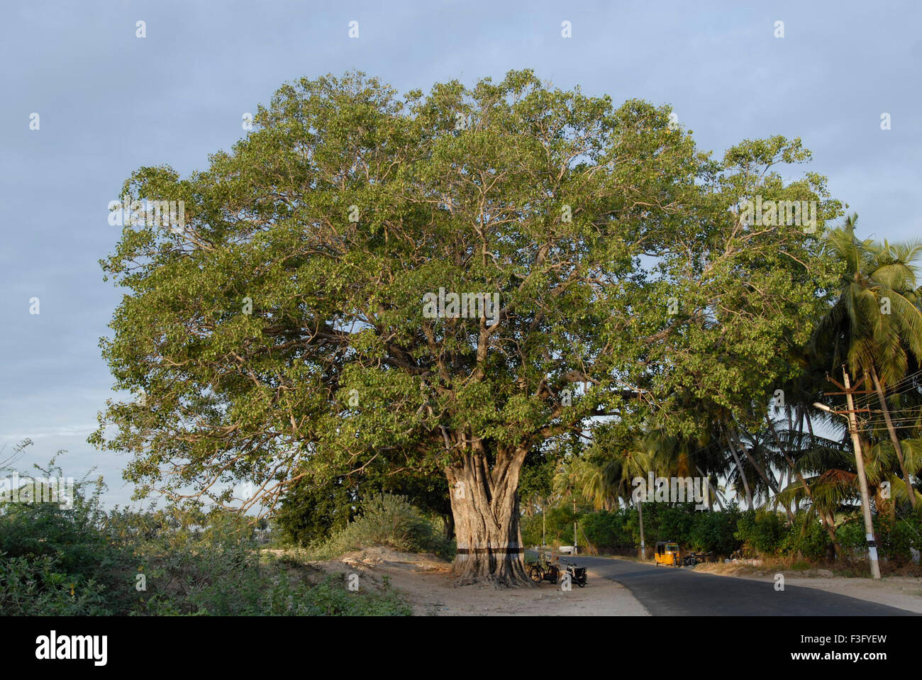 pipal tree hd