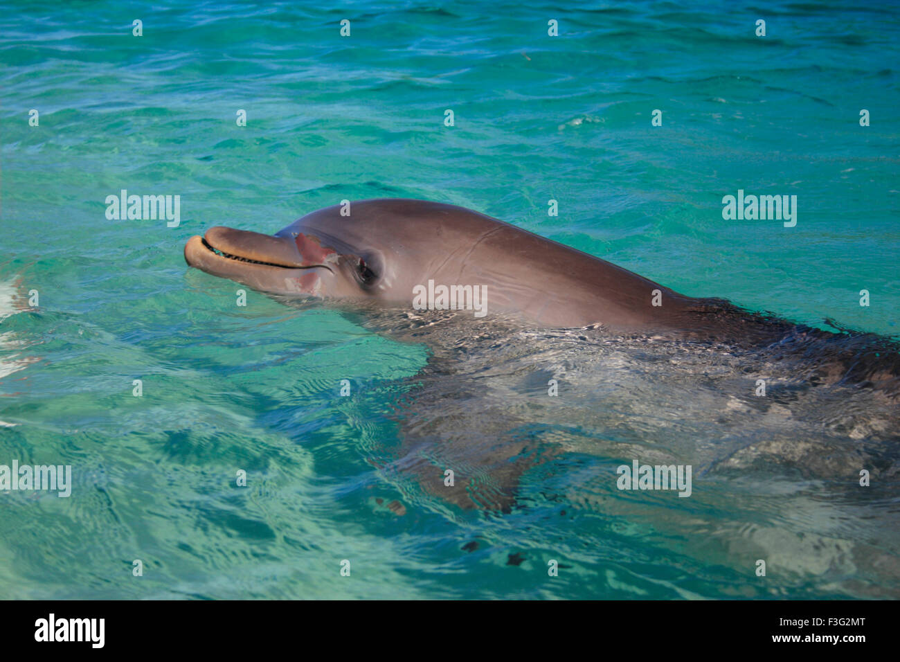 bottlenose dolphin Tursiops Truncatus Kingdom Animalia Phylum Chordata Class Mammalia Order Cetacea Delphinidae - Stock Image