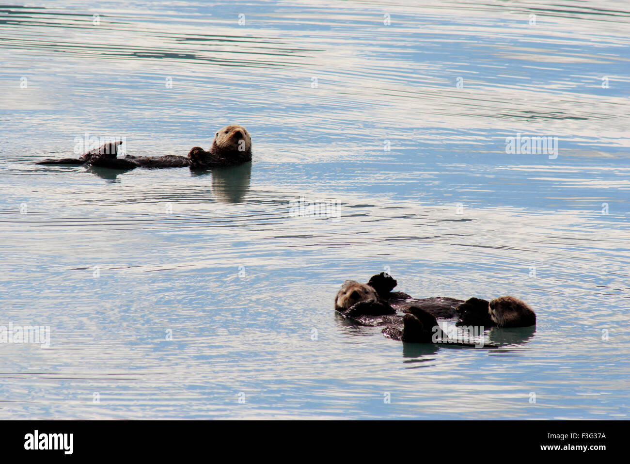 Sea otters floating in resurrection bay ; Seward ; Kenai peninsula borough ; Alaska ; U.S.A. - Stock Image