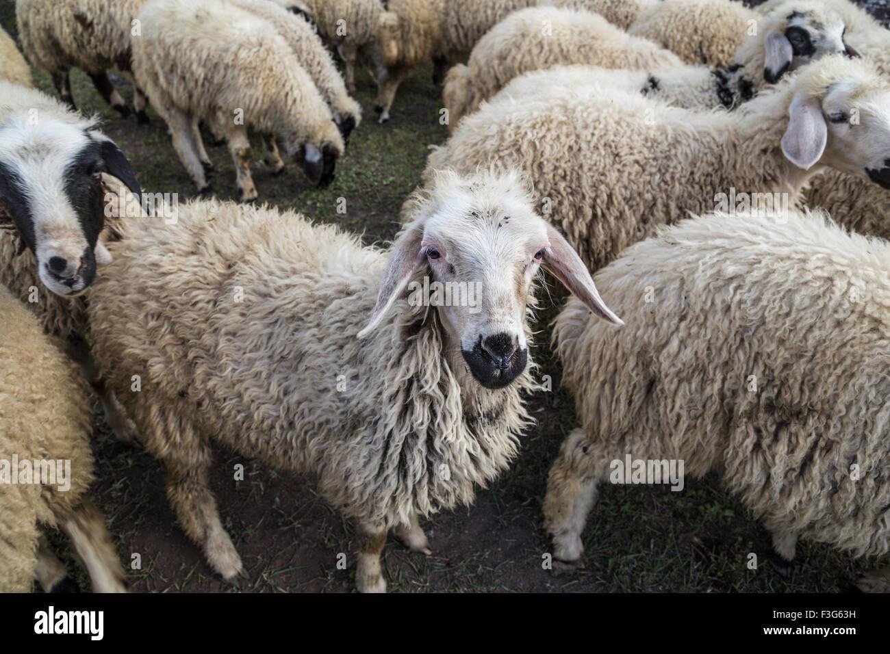 sheep (flocks) - Stock Image