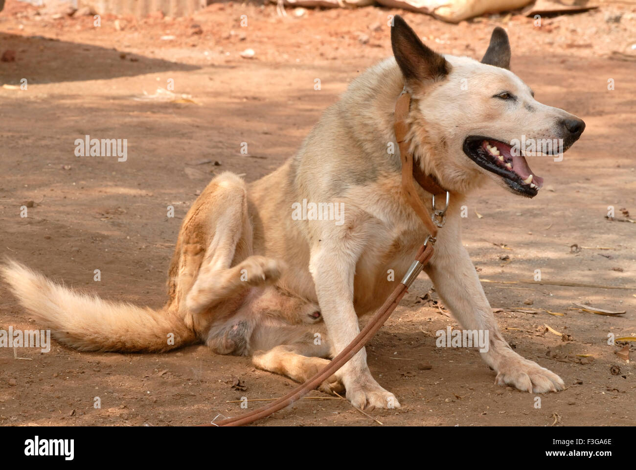 Country dog scratching and tied with belt ; Jambhulwadi ; Pen ; Raigad District ; Maharashtra ; India - Stock Image