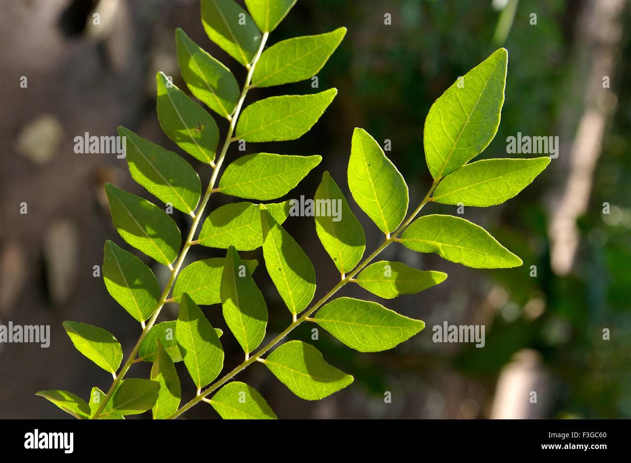 Medicinal plant ; green neem ; Melia Azadirachta Lin - Stock Image