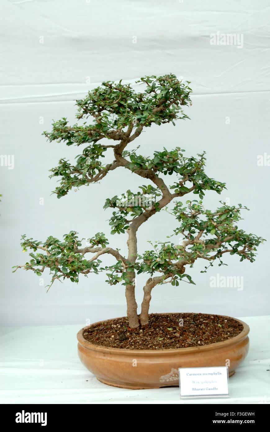 Plant Carmona Microphylla Bonsai Tree Earthen Pot With Soil Stock Photo Alamy