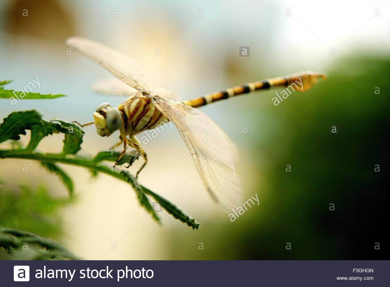 Insect ; Dragon fly ; India - Stock Image