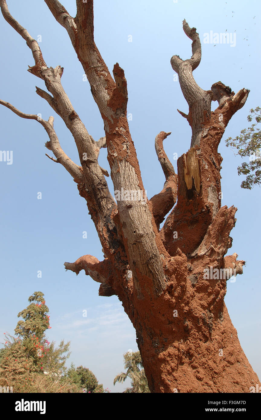 Tree decayed and destroyed - Stock Image