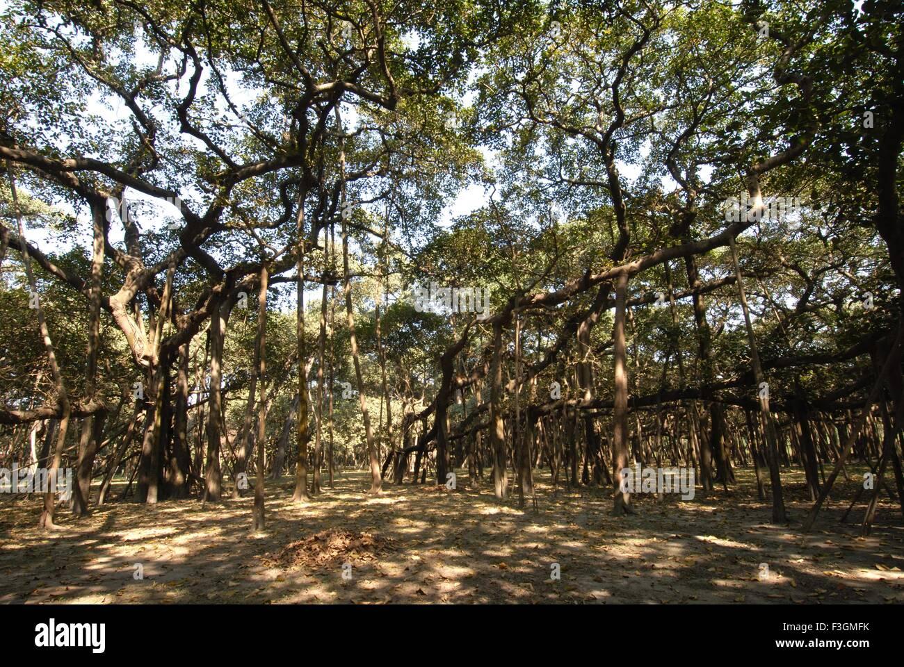 Banyan Tree In Botanical Gardens Stock Photos & Banyan Tree In ...