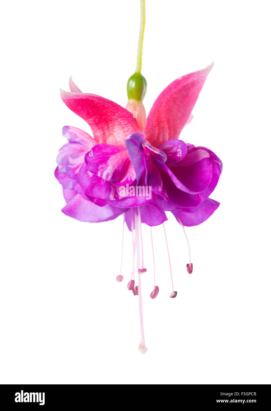 Blooming Beautiful Single Flower Of Lilac And Pink Fuchsia Is Stock