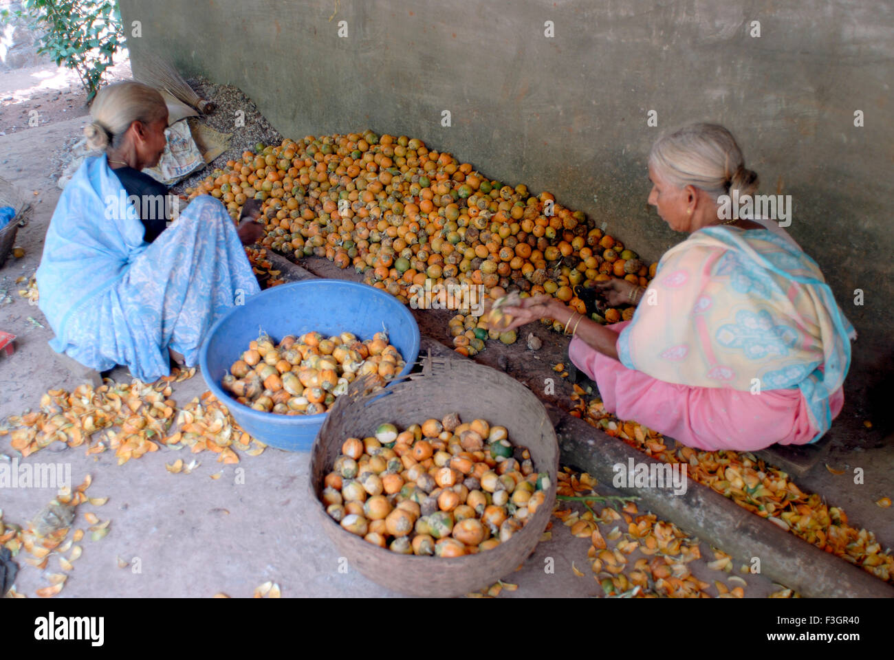 Old women working on separation of betel nuts at Harihareshvar ; Taluka Shreevardhan ; District Ratnagiri ; Maharashtra - Stock Image