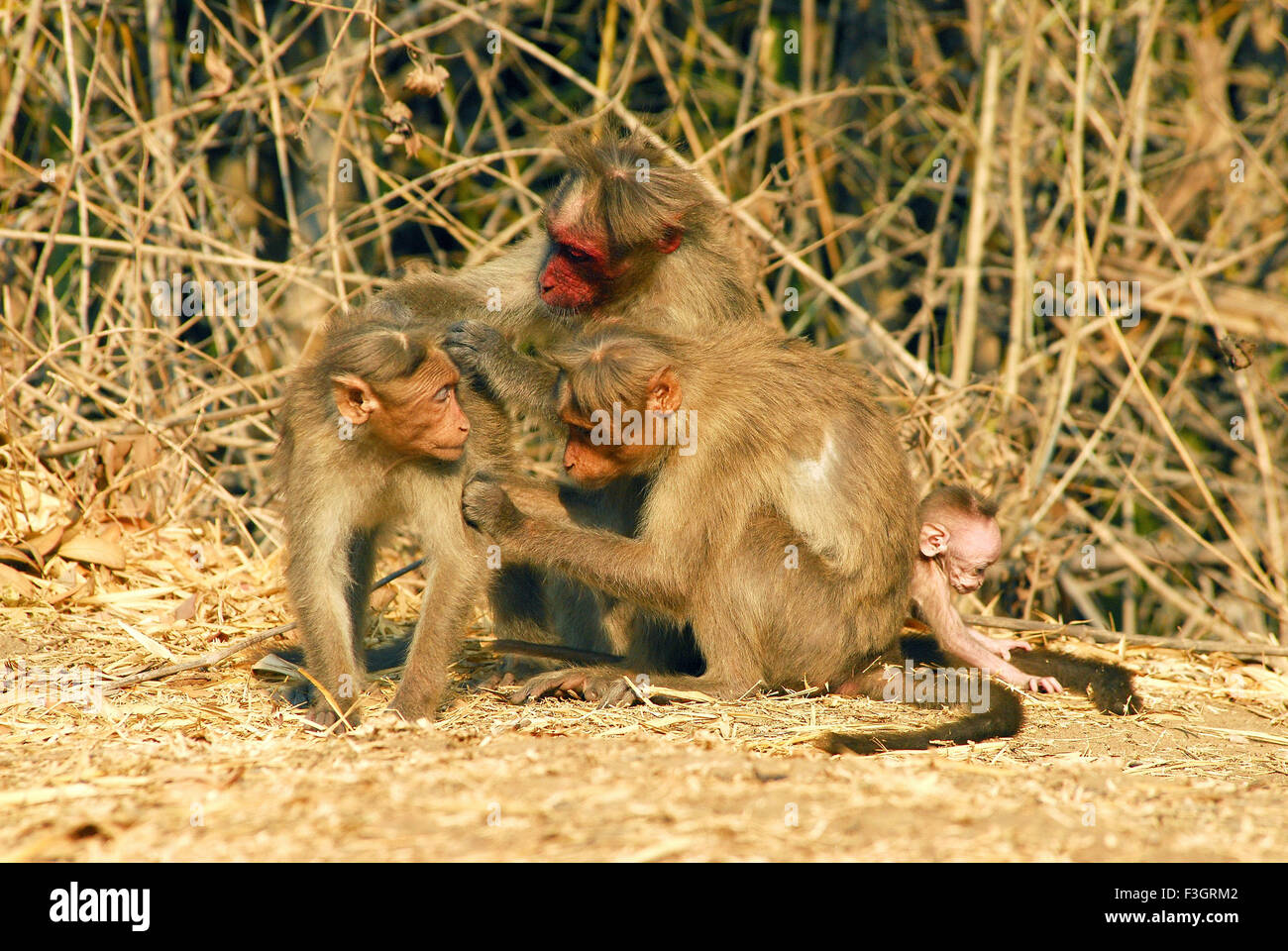 Bonnet monkey Macaca radiata particular specie with red face found in Bandipur ; Karnataka ; India - Stock Image
