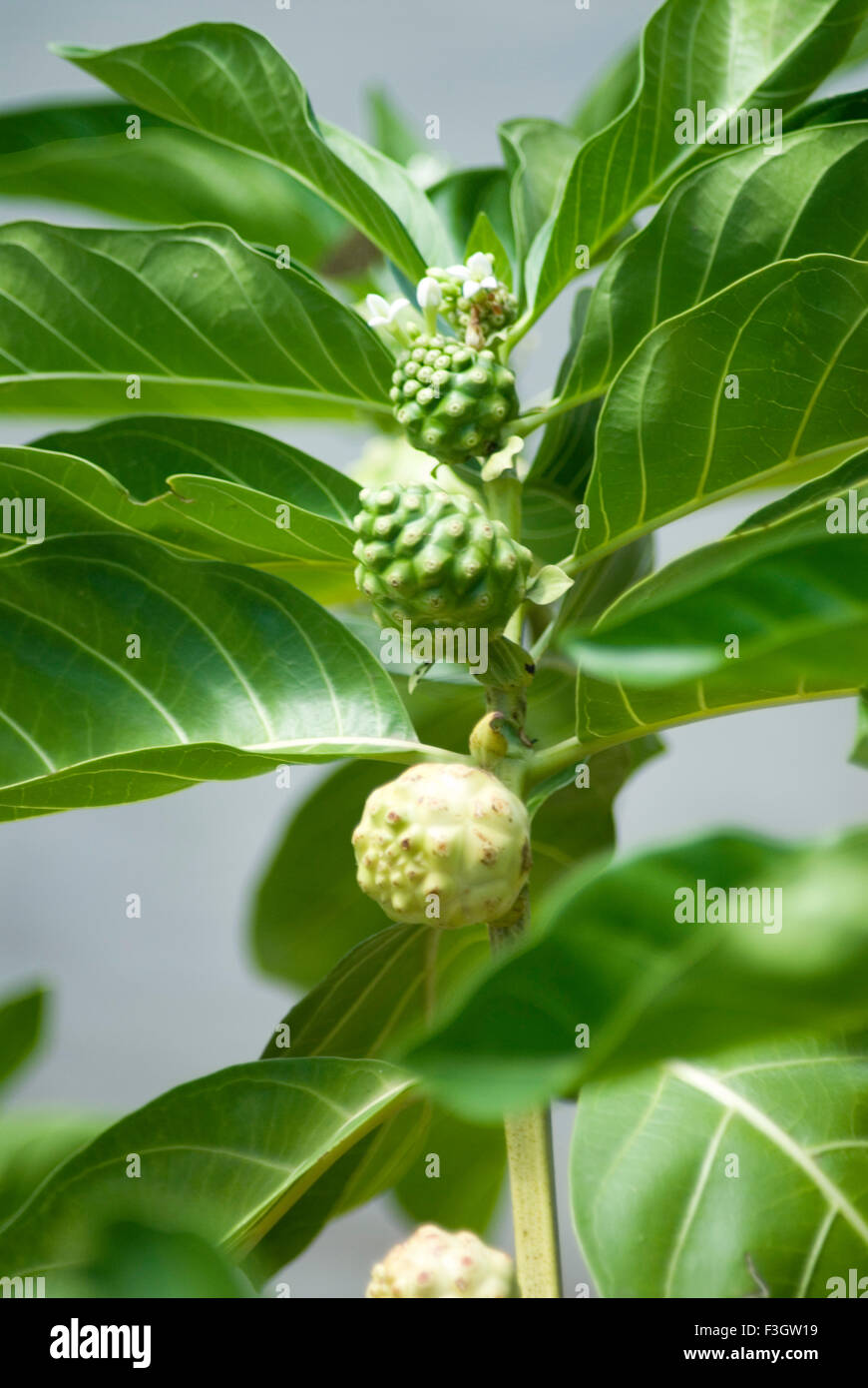 Medicinal plant local name bartondi Indian mulberry morinda Stock
