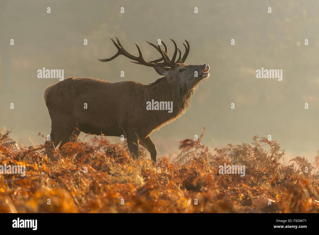 Red deer stag (Cervus elaphus) bellowing in autumnal setting - Stock Image