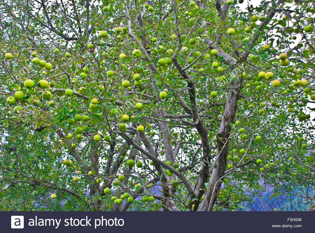 Apples of Sojha ; Sangla ; Himachal Pradesh ; India - Stock Image