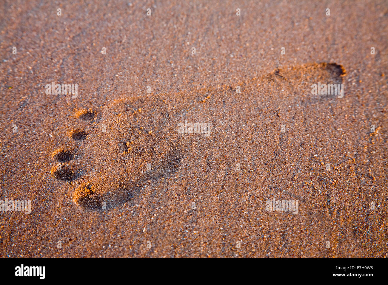 Big Print Stock Photos Images Alamy Byo Concert Medium In Sand Footmark On Texture Aksa Beach Malad Bombay Mumbai Maharashtra