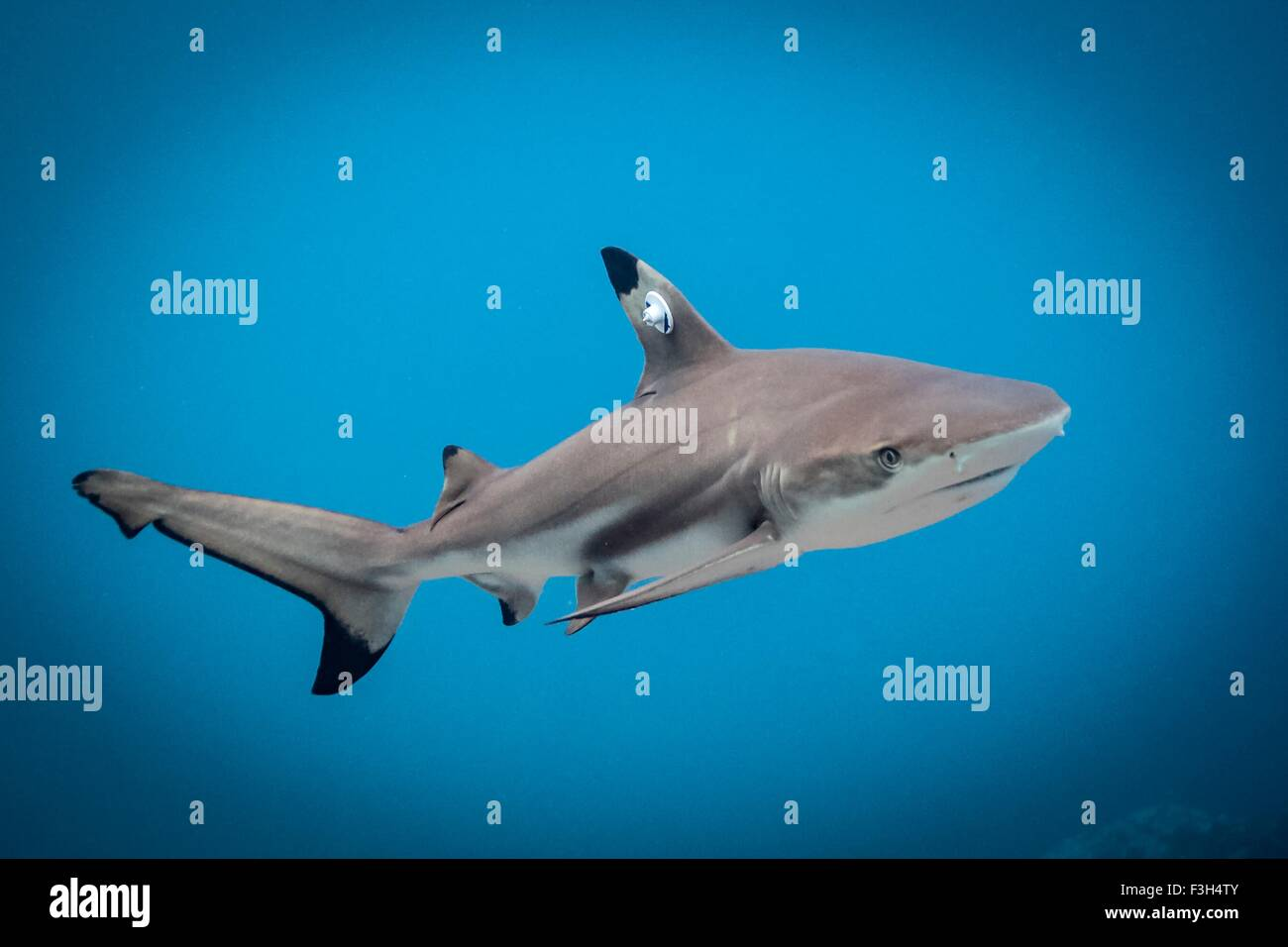 Juvenile blacktip reef shark swims free after it has been tagged, Lombok, Indonesia Stock Photo
