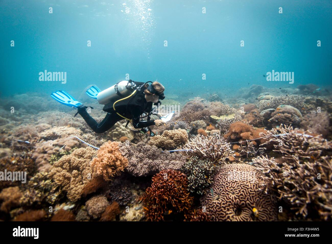 A scuba diver conducts a scientific survey on a coral reef, Raja Ampat, West Papua, Indonesia - Stock Image