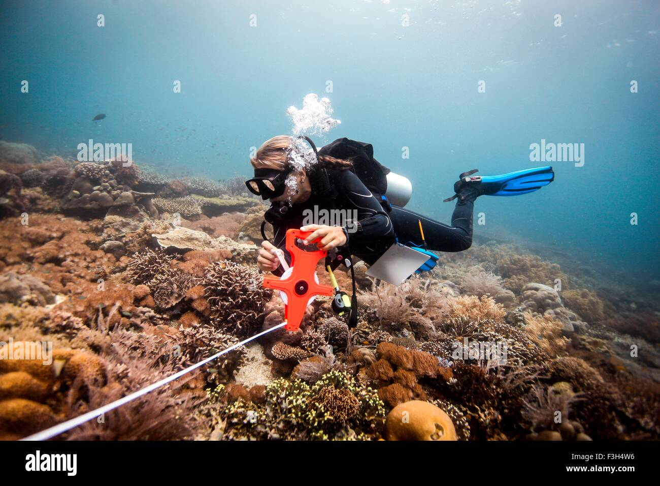Female scuba diver conducts a scientific survey on a coral reef, Raja Ampat, West Papua, Indonesia - Stock Image